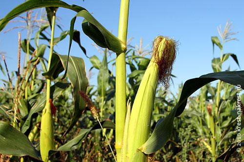 Кукуруза. Початок. Фото 2009 года. Кукуруза здесь мелкая и неспелая. Что значит неправильная агротехника.