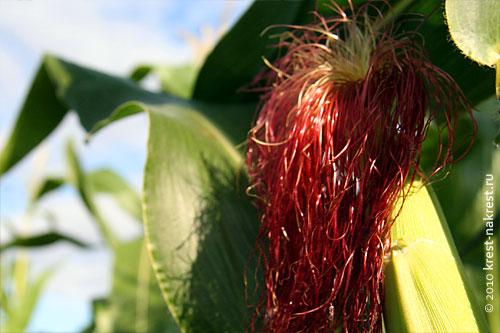Кукурузные рыльца, как пишут многочисленные источники, являются старинным народным средством.