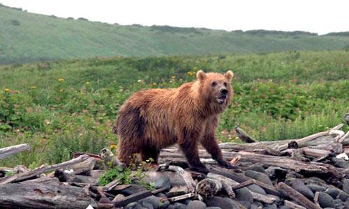 Кунаширский медведь