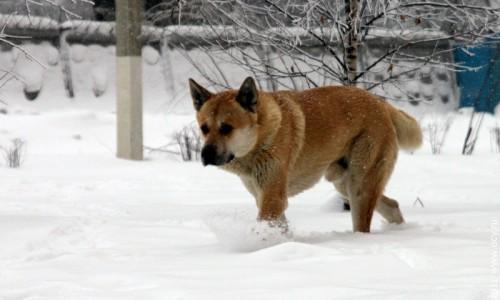Рыжая собака.