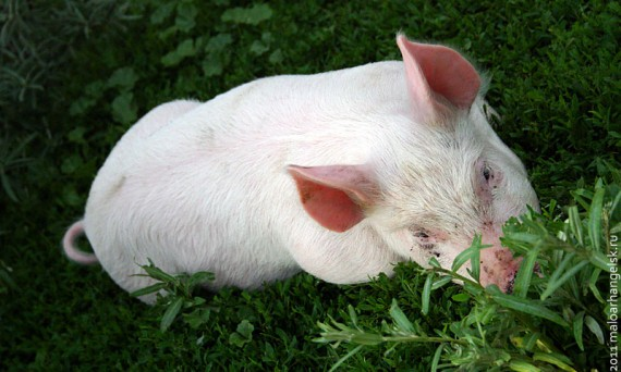 Весёлая свинка. Или весёлый поросёнок.