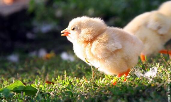 Цыплёнок на солнце.