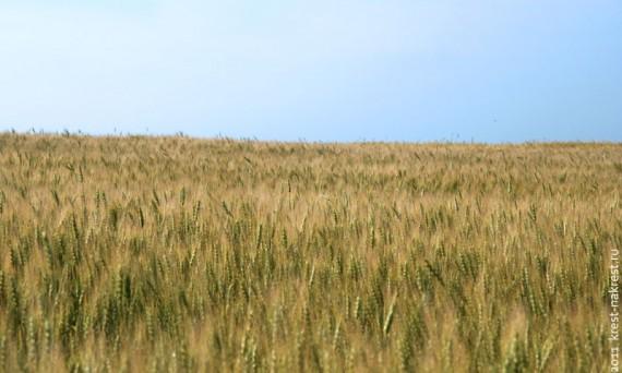 Поле пшеничное.