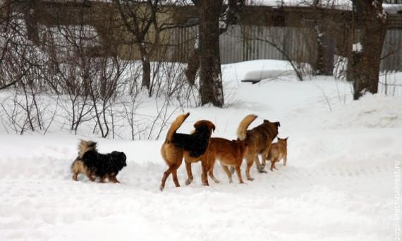 Два административных правонарушения в одном: собаки без поводков и ошейников идут за самогоном.