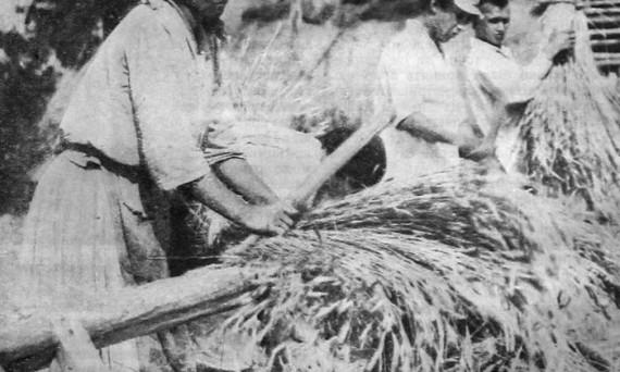 Вязание снопов в поле. 1927 год.