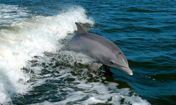Загадочная смерть пеликанов и дельфинов у побережья Перу. 2012 год.